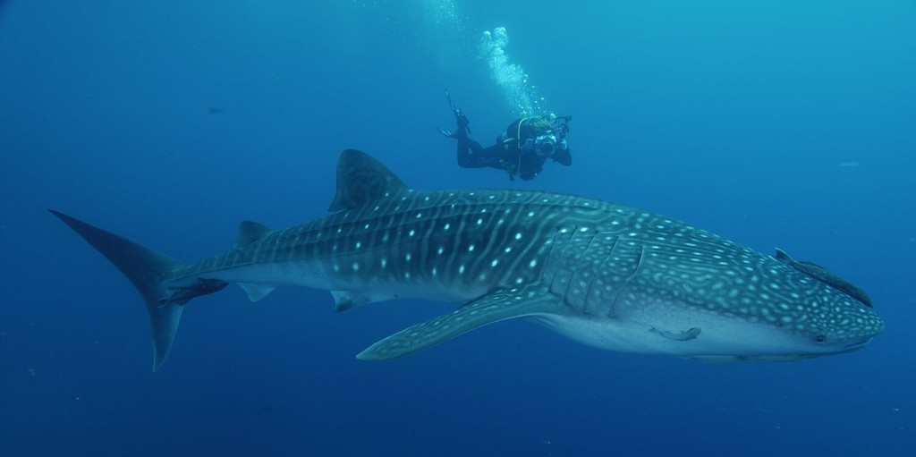 This whale shark is huge!!