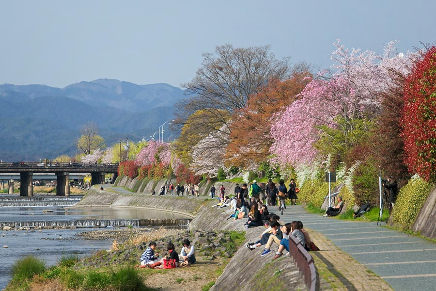 Kamogawa-River-Bank-Cherry-Blossoms