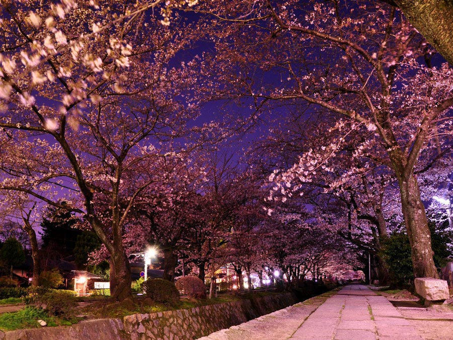 Philosopher's-Path-Night-Sakura-Cherry-Blossoms-Kyoto---2
