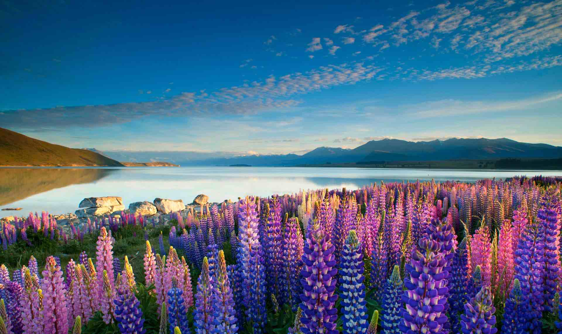 Pink and purple Russell Lupine flowers at Lake Tekapo.