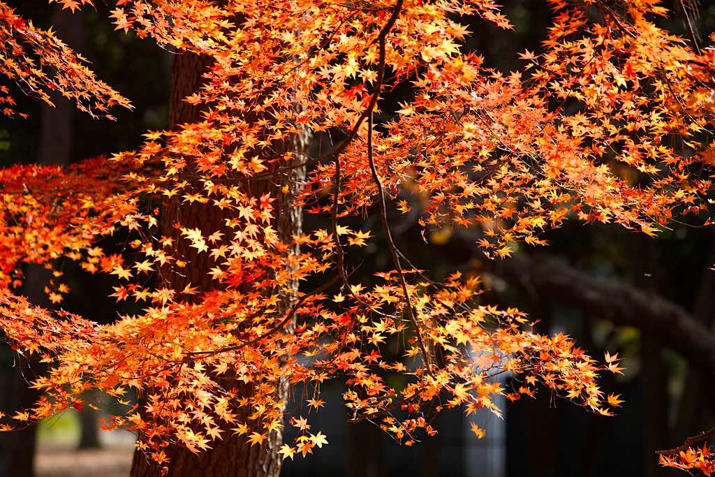 Maple Leaves Yoyogi