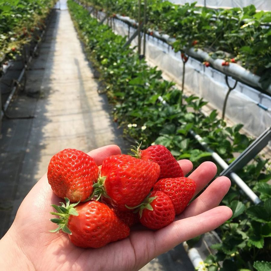 Nikko strawberry park picking